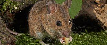 Борба с мишки, как се гонят